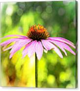 Coneflower Bokeh Canvas Print