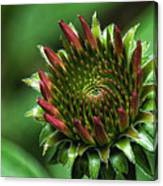 Coneflower Close-up Canvas Print
