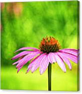 Coneflower In Pink And Green Canvas Print