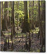 Congaree National Park  Canvas Print