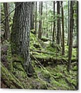 Coniferous Forest, Inside Passage Canvas Print