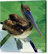 Cool Footed Pelican Canvas Print