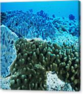 Coral Colonies Canvas Print