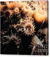 Coral Feeding 5 Canvas Print
