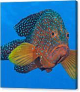 Coral Grouper, Kimbe Bay, Papua New Canvas Print