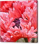 Coral Poppy Canvas Print