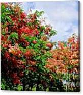 Coral Shower Trees Canvas Print