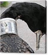 Cormorant With Radio Collar Canvas Print