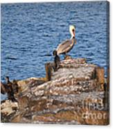 Cormorants And Pelican Canvas Print
