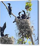 Cormorants Nesting Canvas Print