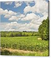 Corn Growing In Maine Farm Field Canvas Print