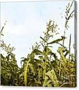 Corn In Summer Canvas Print