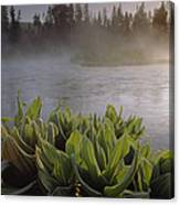 Corn Lilies Near Crescent Creek, Oregon Canvas Print