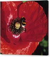 Corn Poppy Flower Canvas Print