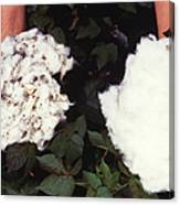 Cotton Comparison Canvas Print