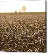 Cotton Field Donana Spain Canvas Print