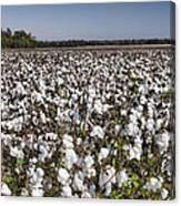 Cotton In Limestone County Canvas Print
