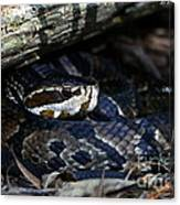 Cotton Mouth Hiding In Gum Swamp Canvas Print