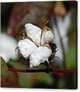 Cotton Pod 3 Canvas Print