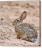 Cottontail Bunny Canvas Print