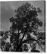 Cottonwood Silhouette Canvas Print