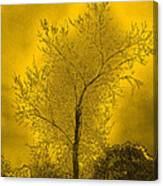 Cottonwood Tree April 2012 In Gold Canvas Print