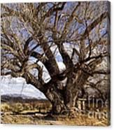 Cottonwood Tree At San Pedro House Canvas Print