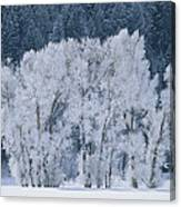 Cottonwood Trees With Frost Canvas Print