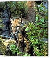 Cougar Coming Through Canvas Print