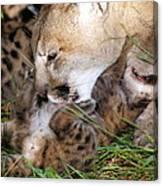 Cougar Mother Licks Kitten Canvas Print