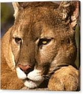 Cougar Relaxing. . . Canvas Print