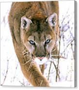 Cougar Stalks Through Snow Canvas Print