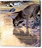 Cougar Stops For A Drink Canvas Print