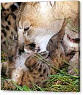 Couger Mom Cleans Kitten Canvas Print