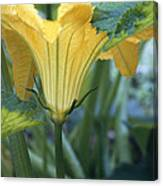 Courgette Flower Canvas Print