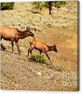 Cow And Calf Elk Canvas Print