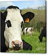 Cow Facing Camera Canvas Print