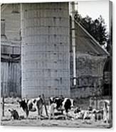 Cow Farm Canvas Print