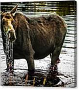 Cow Moose Canvas Print