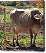 Cow Shadows Canvas Print