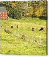 Cows Grazing On Grass In Farm Field Fall Maine Canvas Print