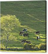 Cows On Hillside Summer In Maine Canvas Print