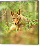 Coyote Caught Napping Canvas Print