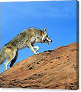 Coyote Climbs Mountain Canvas Print