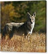 Coyote On A Fall Meadow Canvas Print