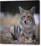 Coyote Resting In Winter Grass, Snowing Canvas Print