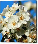 Crab Apple Blossom Macro 001 Canvas Print