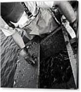 Crabbing On The Potomac Canvas Print
