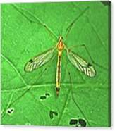 Crane Fly 7623 Canvas Print