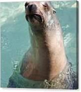 Cranky Seal  Canvas Print